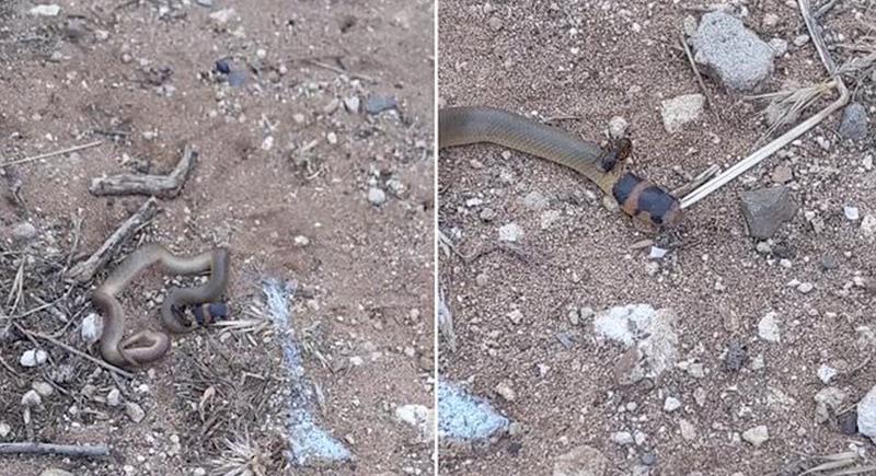 نملة صغيرة تنقض على أفعى دفاعا عن مسكنها (فيديو)