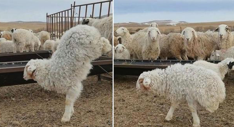 في ظاهرة نادرة.. خروف يمشي على قوائمه الأمامية فقط (فيديو)