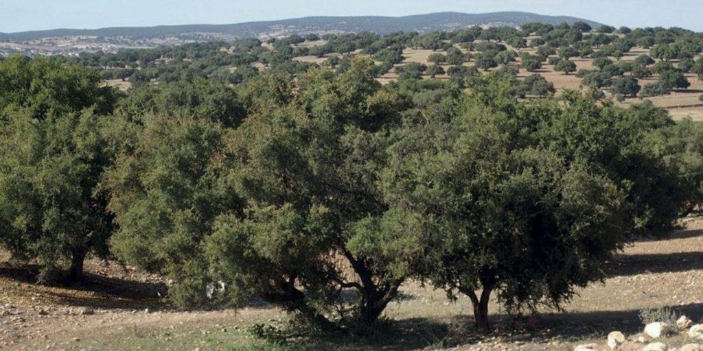 شجرة الأركان.. الأمم المتحدة تدعم رؤية الملك بشأن الحفاظ على هذا الموروث