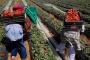 عودة 523 عاملة موسمية بالحقول الفلاحية بإسبانيا إلى المغرب