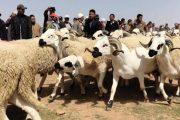 استعداداً لعيد الأضحى.. 1700 طبيب بيطري يقفون ميدانيا على الحالة الصحية للمواشي