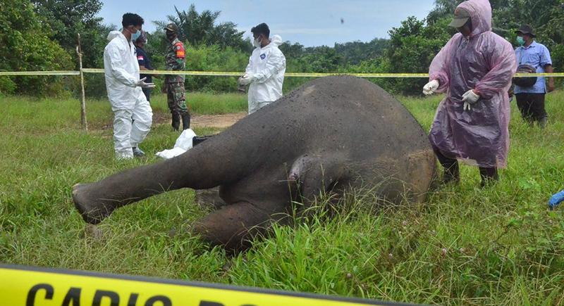 ضبط 5 رجال لتورطهم في قطع رأس فيل بإندونيسيا