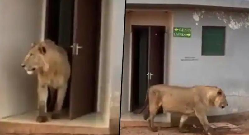 أسد يختبئ في مرحاض عام بانتظار فريسة (فيديو)