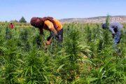 كيف ينظر المغاربة إلى زراعة القنب الهندي؟ تقرير رسمي يكشف التفاصيل
